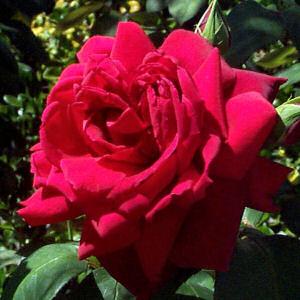 Oklahoma_rose_3